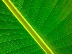 лист банана