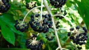плоды аралии
