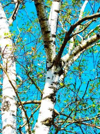 Белая береза это что за дерево