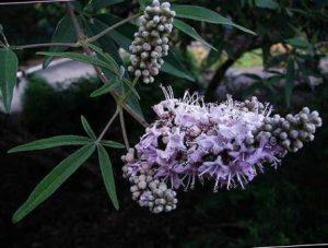 плоды и цветы витекса