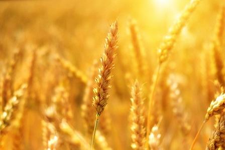 чем полезна пшеница