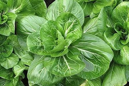 выращивание капусты Пак Чой