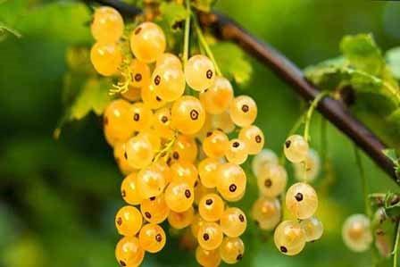 как выращивать золотистую смородину