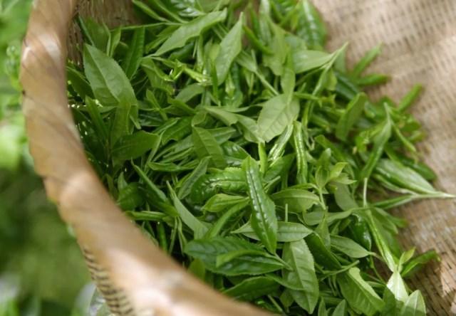 зеленый чай что это