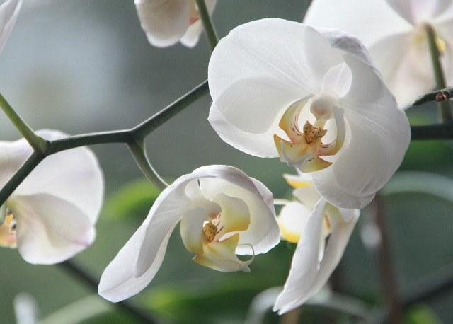 почему не цветёт орхидея в домашних условиях