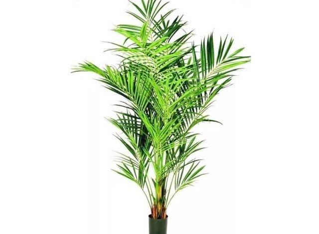 Пальма ховея что это