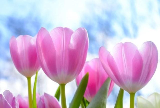у тюльпанов нет бутонов